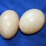 steingrau gefärbte Eier