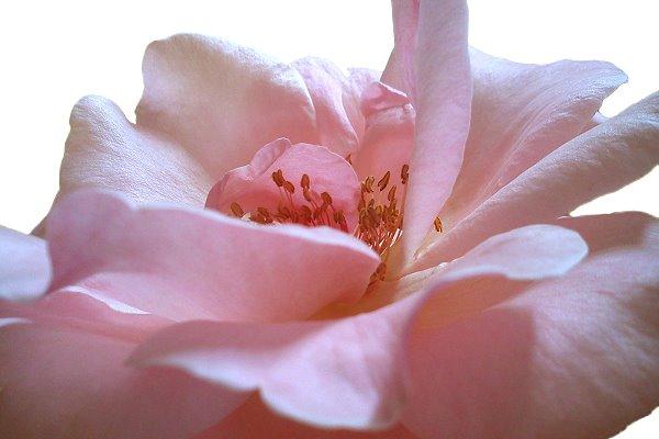 Rosa Rose mit zarten Rosenblättern
