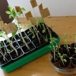 Tomatenpflanzen mit + ohne Dünger 16.03.12