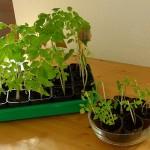 Tomatenpflanzen mit + ohne Dünger 23.04.12