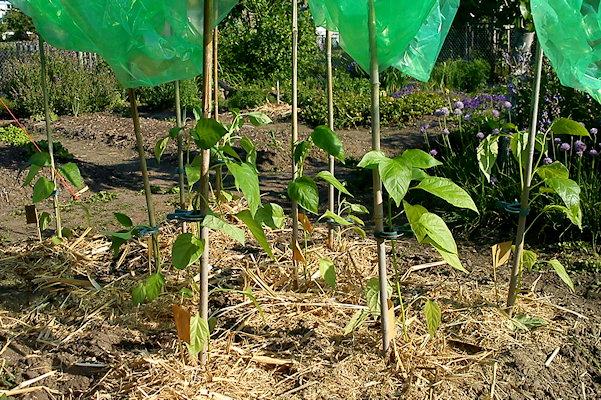 Paprika ausgepflanzt und gemulcht