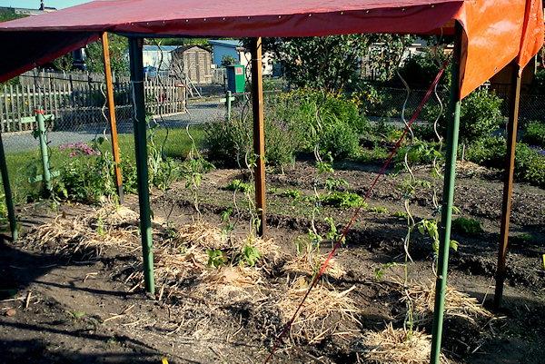 Tomaten ausgepflanzt und gemulcht
