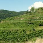hier wächst Stagard Bio-Wein