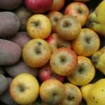 Kartoffeln, Äpfel und Quitten