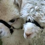 zwei Alpakas