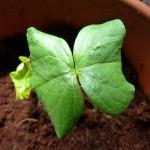 ganz junge Bio-Baumwoll Pflanze