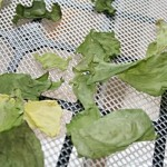 getrockneter Blattsalat