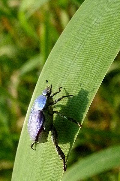 Grünes Blatt mit Käfer
