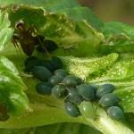 Detailfoto von Blattläusen auf jungen Blättern