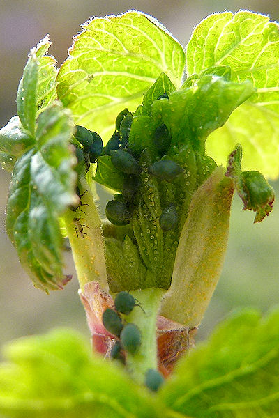 Grüne Blattläuse auf Johannisbeerstrauch