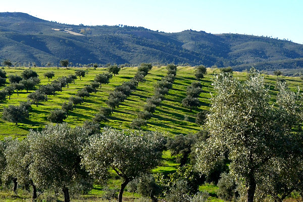 Bio-Olivenplantage in Nordportugals