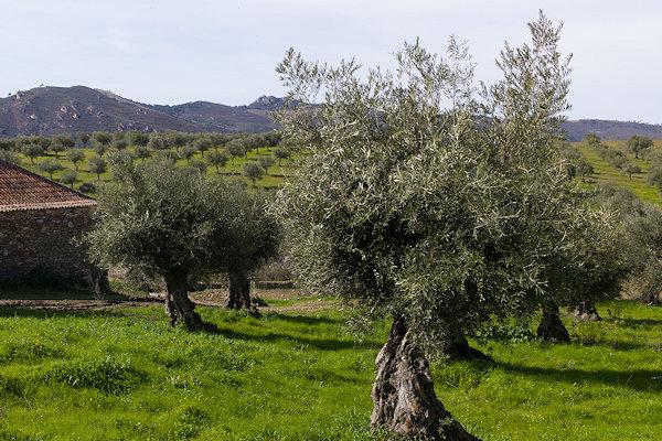 Prächtige Olivenbäume in Portugal
