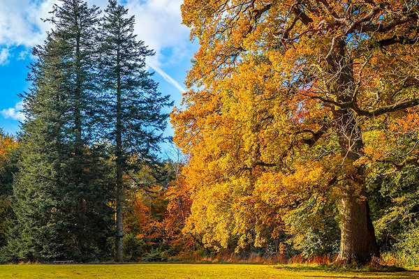 Eichenbaum im Herbstlaub