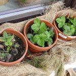 Erdbeerpflanzen auf Fensterbank