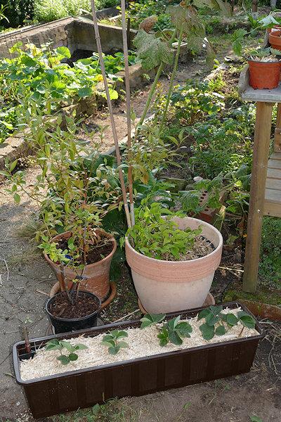 Gartensträucher bereit zum Umzug