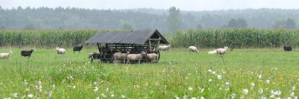 Schafherde auf der Weide im Regen