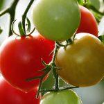 Demeter-Tomaten aus Mahlitzsch