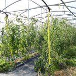 Demeter-Tomaten im Gewächshaus
