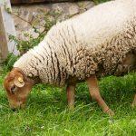 Schaf auf Hof-Mahlitzsch