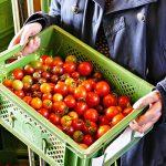 Mahlitzscher Demeter-Tomaten