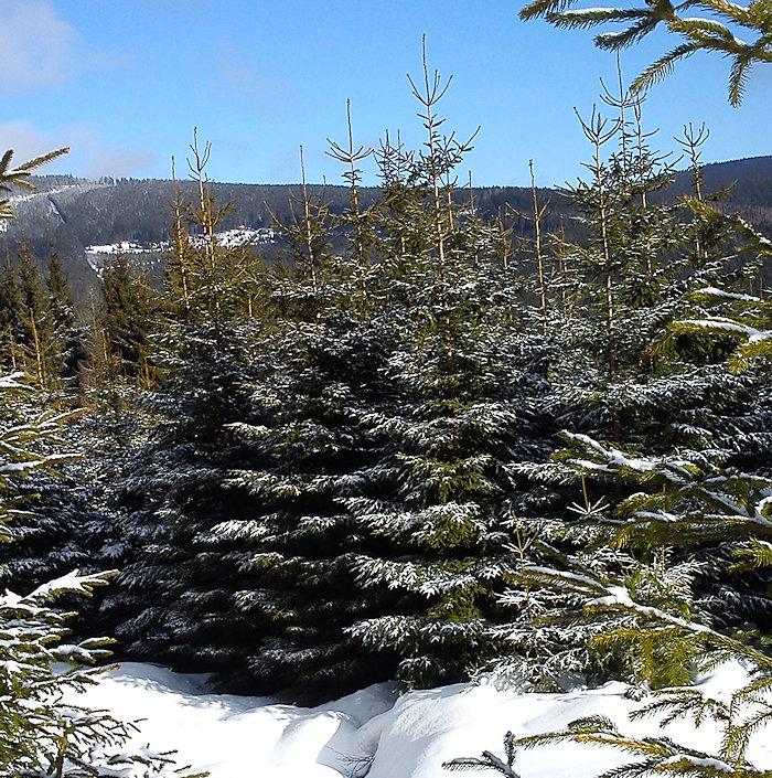 Junge Nadelbäume im Winter