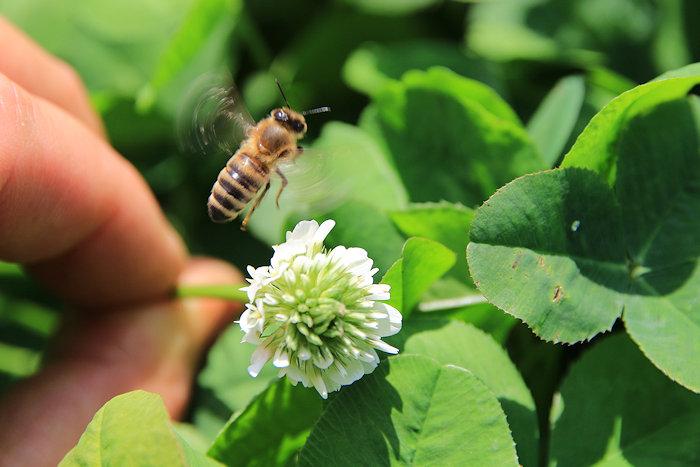 KleePura-Detail Weissklee mit Biene