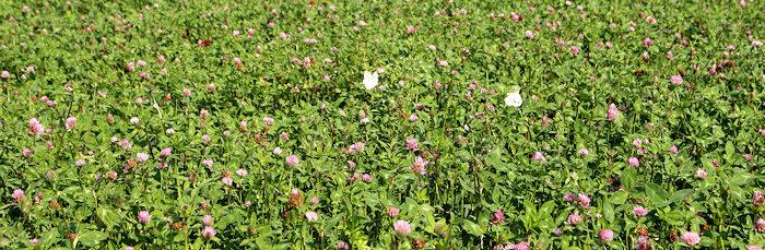 KleePura Feld mit Rotklee +Schmetterlingen