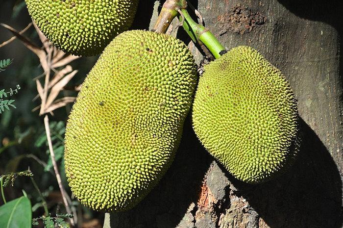 Jackfrüchte-am-Baum