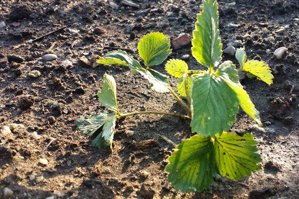 Gartenbeet mit junger Erdbeerpflanze