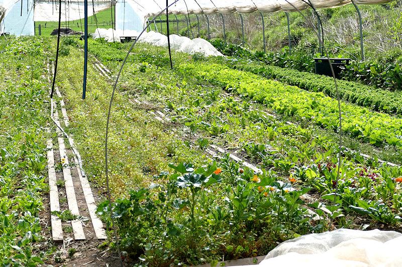 verschiedene Salate und Kräuter wachsen in Reihen unter Folie