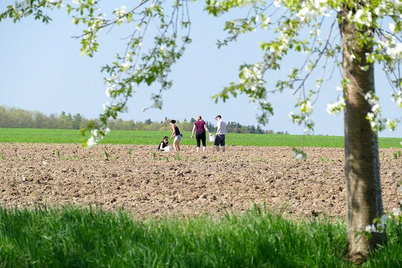 im Vordergrund ein Kirschbaum am Wiesenrand, dahinter ein Feld mit vier Leuten die Zwiebeln stecken